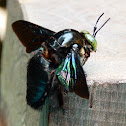 Bornean Carpenter Bee
