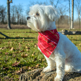 Charlie profile by Pam Satterfield Manning - Animals - Dogs Portraits ( soothing, furry, white, proud, dog, bokeh, portrait, soft, profile, animal,  )