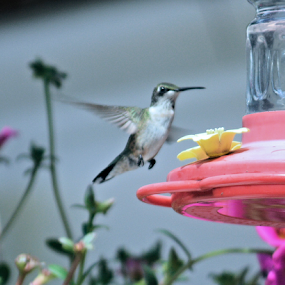 Hummer by Teresa Wooles - Animals Birds