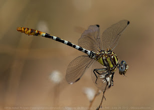 Photo: White-belted Ringtail Dragonfly in the Arroyo de las Montoyas, Corrales, NM, near where it empties into the Rio Grande. If you enlarge the photo, you can see the last bits of his brunch sticking out of his mouth. This species is frequently seen perching on the ground. #odonata  #dragonfly  #twt