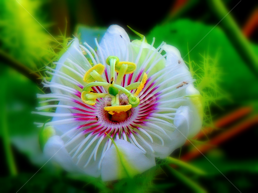 Passiflora foetida by Yusop Sulaiman - Nature Up Close Other plants