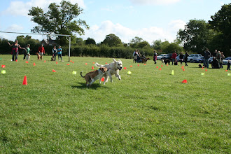 Photo: Rusty Border Collie racing against Oscar Golden in Fastest Recall