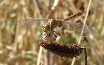 Photo: Southern Darter (Sympetrum meridionale), female Taken early Sept on coastal heathland at Pointe du Grouin, Ille et Vilaine, Bretagne, France.  For #buggyfriday +Buggy Friday Curators +Ray Bilcliff +Dorothy Pugh +Victoria Etna and #europeanphotography +European Photo +Janusz Brakoniecki +Jean-Louis LAURENCE +Michael Muraz +Susanne Ramharter +Ela Kupiec +Carlos Duarte  Edit: to force this missing post to appear. AND AGAIN.