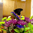 Spicebush Swallowtail Butterflies ( Two Butterflies )