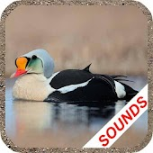 Duck Sounds