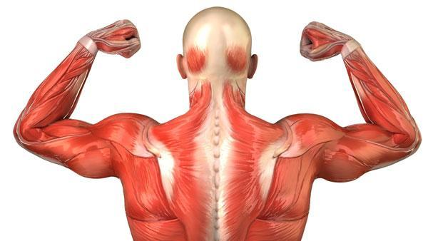 parts-of-muscular-system.jpg