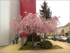 Photo: Corcoduş ornamental roşu (Prunus cerasifera Nigra) - din Turda, Piata 1 Decembrie 1918 - 2019.04.06