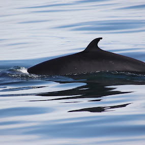 Whale Watch by Lynn Morley - Animals Other Mammals ( #pwcmovinganimals #whale #iceland #water #peaceful # blue #reflection )