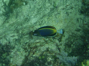 Photo: Acanthurus japonicus (Poweder Brown Tang), Siquijor Island, Philippines