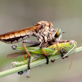 Robber Fly by Asep Bowie - Animals Insects & Spiders