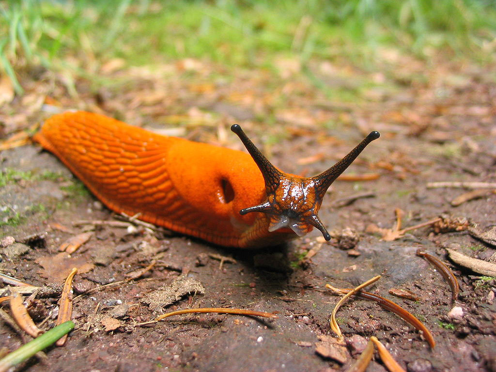 Have you seen and slugs or snails in your gardens? They can sometimes be large and carry diseases.
