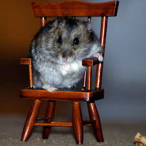 Hamster  by Nikola Bogdanic - Animals Other Mammals ( pose, chair, mouse, eat, hamster )