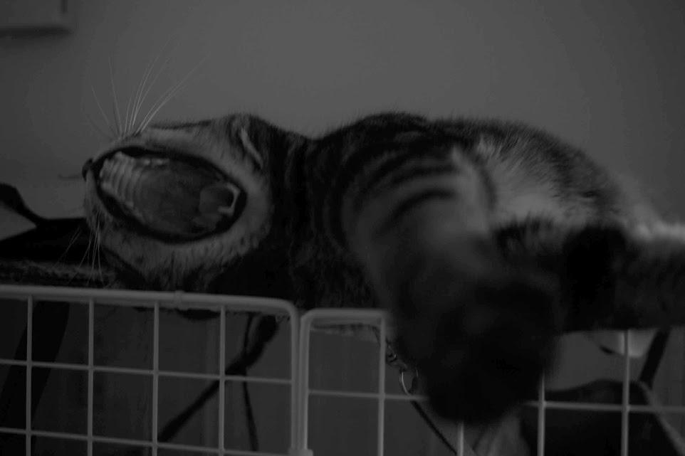 かわいい猫の欠伸の瞬間jpegbyDP2で撮影