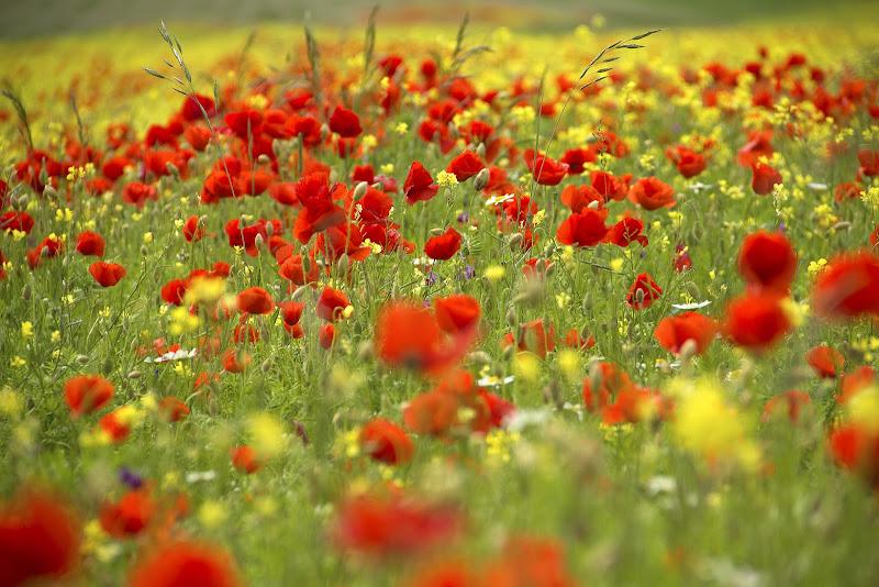 fioritura a Castelluccio di marmiria
