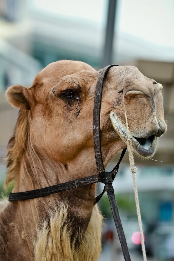The Smile by Wisnu Widiarta - Animals Other ( camel, pets, circus )