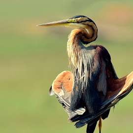 Purple Heron by Manoj Kulkarni - Animals Birds ( bird, sitting, purple, nature, awesome, green, background, wildlife, wader, heron )
