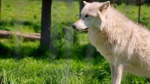 The Big Bad Wolf thumbnail