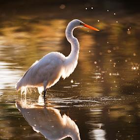 Great egret by Cristobal Garciaferro Rubio - Animals Birds