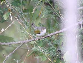 Photo: Grey-backed Cameroptera (bleating-warbler)