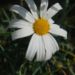 White Flower in Park by Eden Anyabwile - Nature Up Close Flowers - 2011-2013 ( plant, park, nature, white, daisy, in, flower )