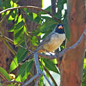 Black-throated Saltator