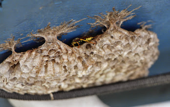 Photo: We found several wasps' nests under the canvas cover on Ian's boat. We saw only two wasps, and crushed them unmercifully, along with their nests. But they were pretty cool to look at.