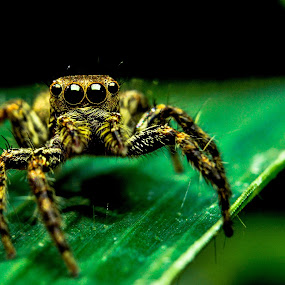 The Jumper by Shohibul Huda - Animals Insects & Spiders ( animals, macro photography, indonesia, jumping spider, spider, animal,  )