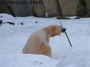 Photo: Knut mit Stoeckchen im Schnee ;-)