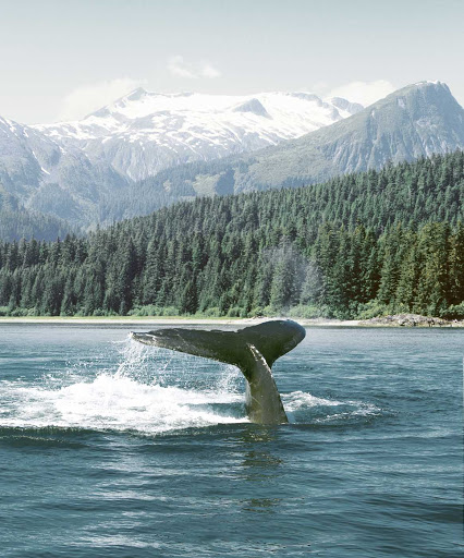 Whale-Tail-in-Alaska.jpg - Whale watching is one of the many activities guests can enjoy on an American Cruise Lines sailing in Alaska and the Pacific Northwest.