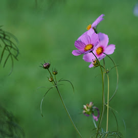 Where is the Sunshine? by Cathy Sutherin - Flowers Flowers in the Wild ( blooms, wildflower, pink, nature, flower )