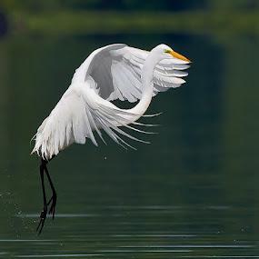 Egret Skip by Don Holland - Animals Birds