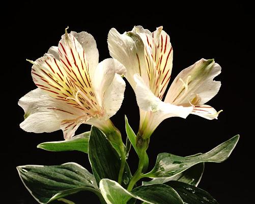 i colori dei fiori vincono con i neri dello sfondo di lorenzo_raccagni