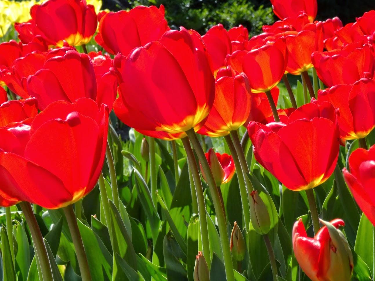 Tulipes à la Fêtes de la tulipe à Morges