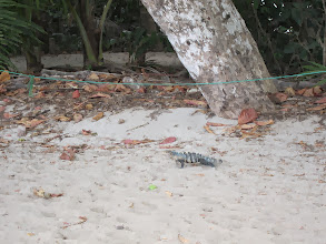 Photo: Iguana on the beach
