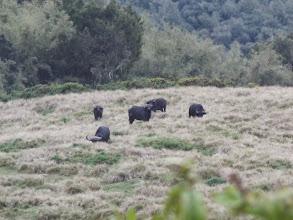 Photo: African buffalo