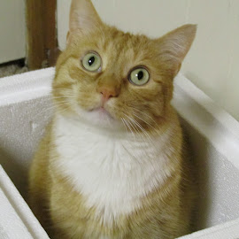 Cat in a Box by Debra Rebro - Animals - Cats Playing (  )