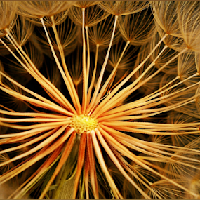 Shades of gold by Kittie Groenewald - Nature Up Close Other plants (  )