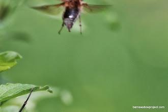 Photo: May beetle takes flight