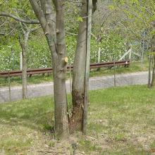 Photo: Beschnittene Kastanienbäume, rechts ein Stamm mit Rost, der sich vermutlich wieder erholt –Wenn ich das richtig verstanden habe.