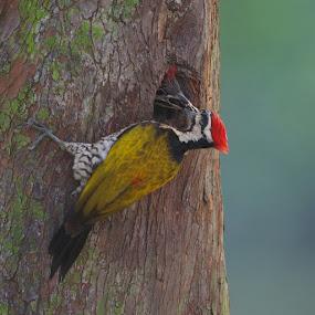 Woodpecker feeding by Ken Goh - Animals Birds