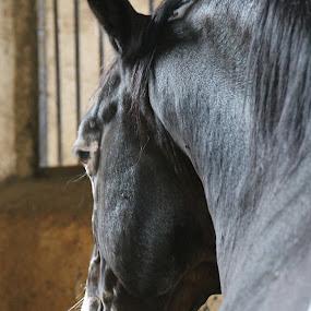 Spirit of a black horse by Luciana Popa - Animals Horses ( #myhorse, #image, #horseimage, #horse, #photo, #animal, #blackhorse, #animalsphotography, #horsespirit, #photography, #beautifulhorse )