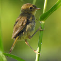 Common Yellowthroat (young female)