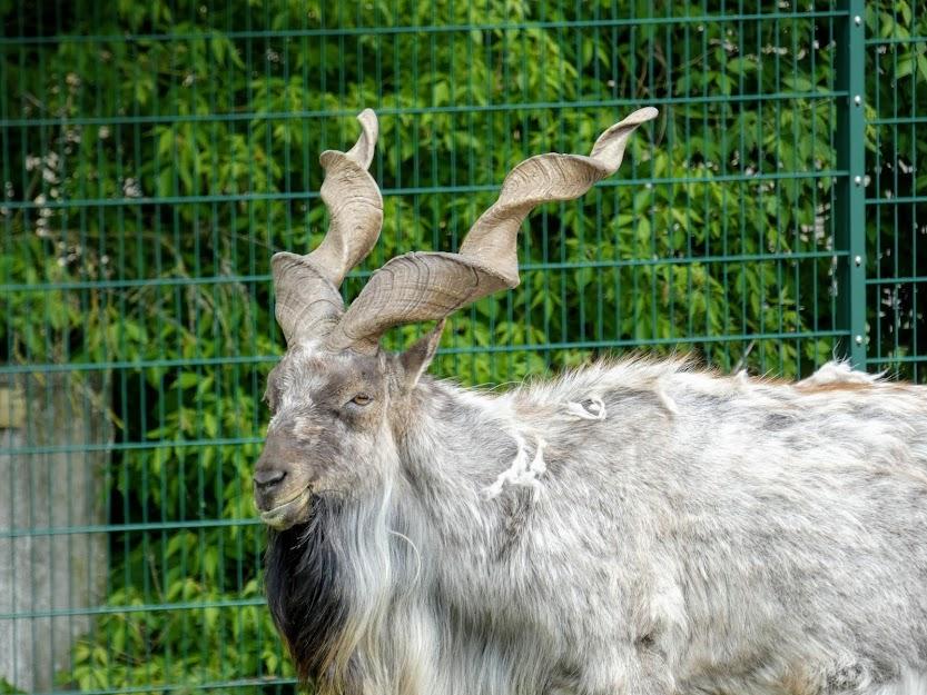 Koza śróboroga