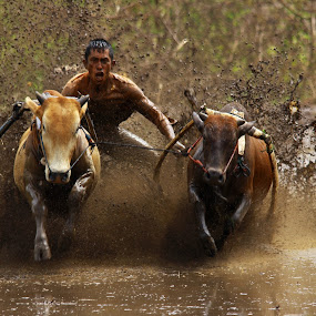 Pacu Jawi by Maki Sumawijaya - News & Events Sports