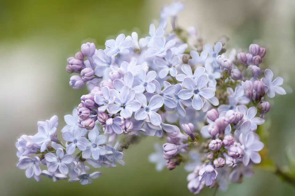 Your Guide to Growing & Caring for Lilac Bushes 6