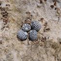 Checkered nerite