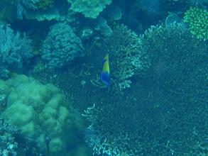 Photo: Pomacanthus navarchus (Majestic Angelfish), Siquijor Island, Philippines