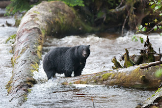 """Photo: Only about 1 in 10 bears on the island are the white """"Spirit"""" bear, so you'd expect to see a majority of black bears."""
