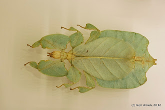 Photo: Phyillium giganteum is a leaf insect from Malyasia. It's much easier to show a specimen than attempting to locate a live one.