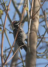 Photo: Nuttall Woodpecker. Taken 2/2010 w/Canon 20D